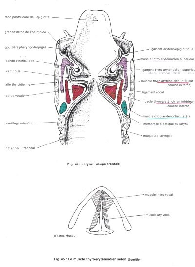 Larynx - coupe frontale